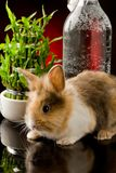 Dwarf Rabbit with Lion's head on glass table Stock Photos