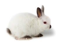 Dwarf rabbit, Oryctolagus cuniculus Stock Photos
