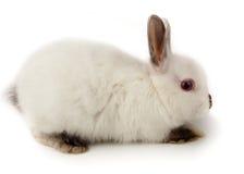 Dwarf rabbit, Oryctolagus cuniculus Stock Photography