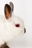 Dwarf rabbit, Oryctolagus cuniculus Royalty Free Stock Image