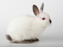 Dwarf rabbit, Oryctolagus cuniculus Stock Images