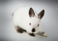 Dwarf rabbit, Oryctolagus cuniculus Stock Image