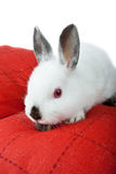 Dwarf rabbit, Oryctolagus cuniculus Stock Photo