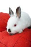 Dwarf rabbit, Oryctolagus cuniculus Stock Photo