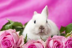 Dwarf rabbit Royalty Free Stock Photo
