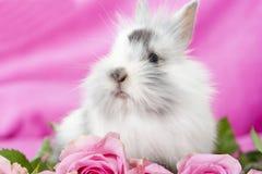 Dwarf rabbit Stock Photos