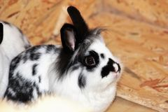 Dwarf bunny rodent Black white lion head. Dwarf Rabbit Rodent Black and white lion`s head are people`s loving friends royalty free stock images