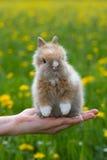 Dwarf rabbit. Sitting on a human hand Stock Photo