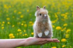 Dwarf rabbit. Sitting on a human hand Stock Image