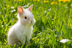 Dwarf rabbit. In a spring meadow Stock Images