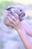 Dwarf rabbit in woman hands outdoors. Dwarf brown rabbit in woman hands outdoors Stock Images