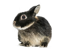 Dwarf rabbit, 1 year old, isolated Stock Image