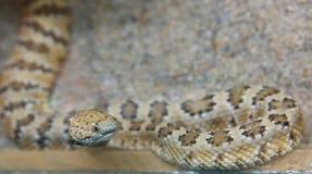 Dwarf rattlesnake Royalty Free Stock Image