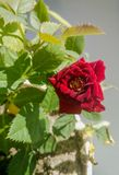 Dwarf red mini rose in a pot stock photos