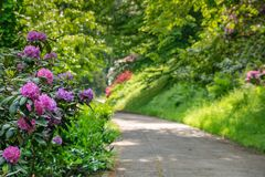 Rhododendron blossom in the City Park in Germany Baden Baden in spring royalty free stock photos
