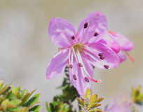 Dwarf Rhododendrons - Close-up Stock Photo