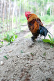 Dwarf rooster Royalty Free Stock Photos