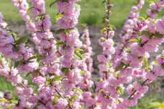 Dwarf sakura shrub blooming, japanese cherry. Pink flowers, daylight Stock Photography