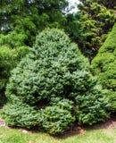 Dwarf Serbian Spruce – Picea omorika Stock Image