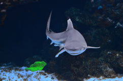 The dwarf shark sails near the stone deep in the water royalty free stock photo