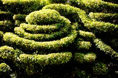 Dwarf shrubs, decorative patterns. outdoor in sunlight Royalty Free Stock Photography