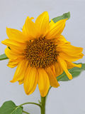 Dwarf Sunflower ( Helianthus annus ) Royalty Free Stock Photography