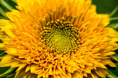 Dwarf Sunflower Royalty Free Stock Photography