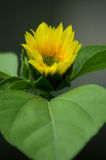 Dwarf Sunflower Stock Images