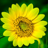 Dwarf Sunflower Royalty Free Stock Image