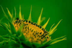 Dwarf Sunflower Royalty Free Stock Images