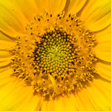 Dwarf Sunflower Stock Photo