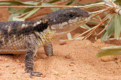 Dwarf sungazer. The East African Spiny-tailed Lizard ,Cordylus tropidosternum, common name: dwarf sungazer), also known as the Tropical Girdled Lizard, is an Royalty Free Stock Photo