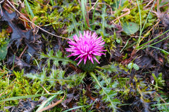 Dwarf thistle purple bloom Royalty Free Stock Photo