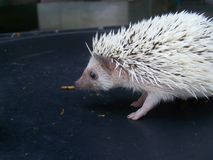 Dwarf top porcupine is naughty Stock Image