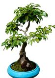Dwarf tree. Small tree on the white background Stock Photo