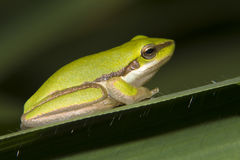 Dwarf Tree Frog. (2cms long) basking in the morning sun on Guinea grass in tropical north QLD, Australia Stock Images