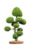 Dwarf tree isolated Stock Images