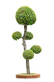 Dwarf tree isolated Royalty Free Stock Photo
