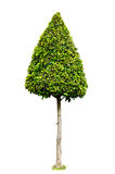 Dwarf tree isolated Stock Photo