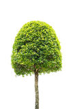 Dwarf tree isolated on white Stock Photo