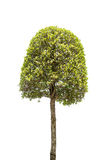 Dwarf tree isolated on white Stock Photography