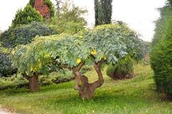 A dwarf tree, tiny Royalty Free Stock Photo