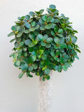 Dwarf tree Royalty Free Stock Images