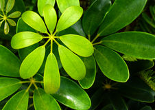 Dwarf  Umbrella leaf. Dwarf Umbrella Tree`s leaves Schefflera arboricola Royalty Free Stock Photo