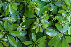 Dwarf Umbrella Schefflera actinophylla ornamental plants  Background Pattern, Vertical Green Leaves Textured or Green Bush Backg. Dwarf Umbrella Schefflera Royalty Free Stock Photos
