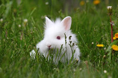 Dwarf white bunny. In green grass royalty free stock photos