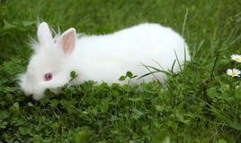 Dwarf white rabbit Stock Images