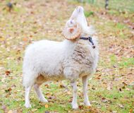 Dwarf white ram in forest Royalty Free Stock Photos