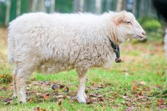 Dwarf white sheep in forest Stock Photography