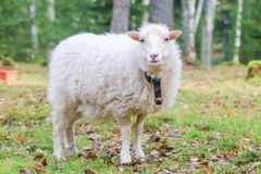 Dwarf white sheep in forest Stock Photos